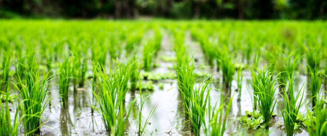 Atenção produtores de arroz! PME francesa procura fornecedores.