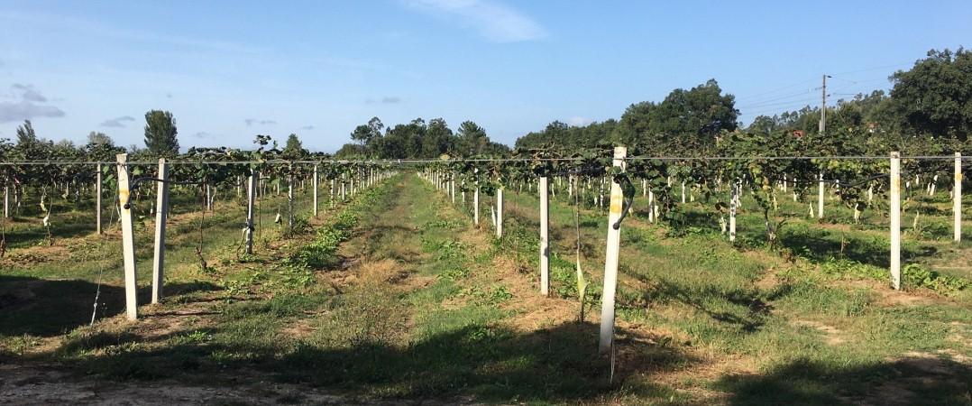 Atenção investidores! Projeto agrícola de uva de mesa procura comprador.
