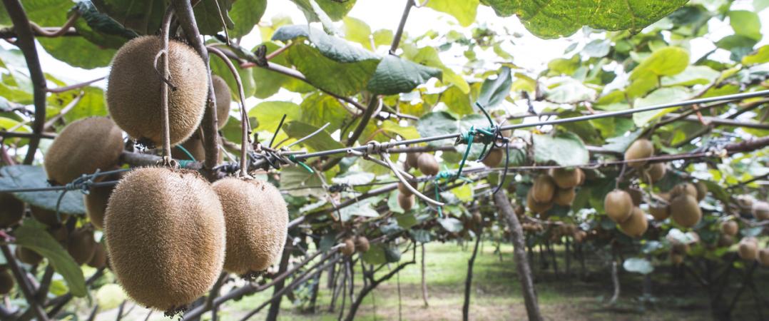 Empresa com terreno para produção de kiwis em Pombal está à procura de investidor