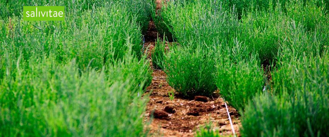 Produtora de salicórnia e ervas aromáticas quer expandir e procura apoio